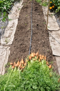 Elizabeth, Maya, and Cora helped clear the carrots.
